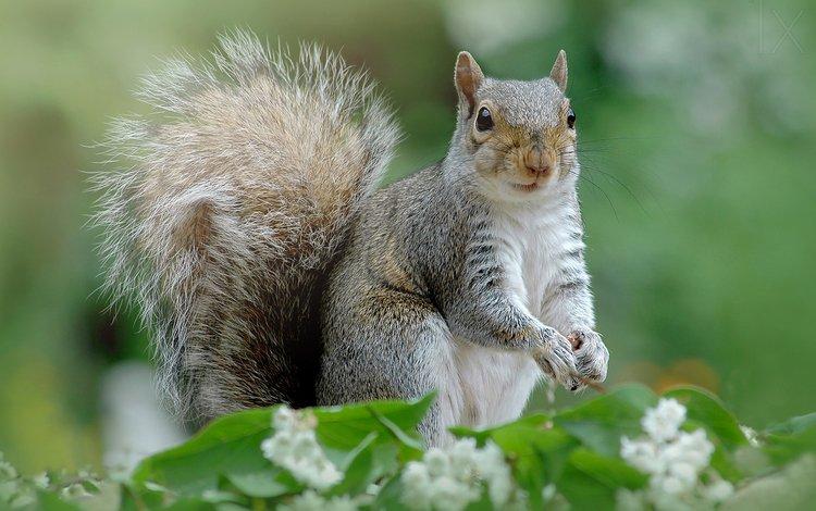 природа, фон, цвет, белка, хвост, хвостик, белочка, грызун, nature, background, color, protein, tail, ponytail, squirrel, rodent