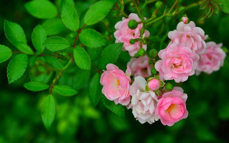 цветы, ветка, бутоны, листья, розы, шиповник, flowers, branch, buds, leaves, roses, briar