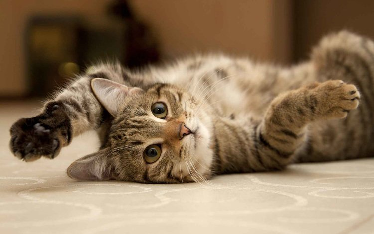 глаза, фон, кот, усы, кошка, взгляд, лапки, eyes, background, cat, mustache, look, legs