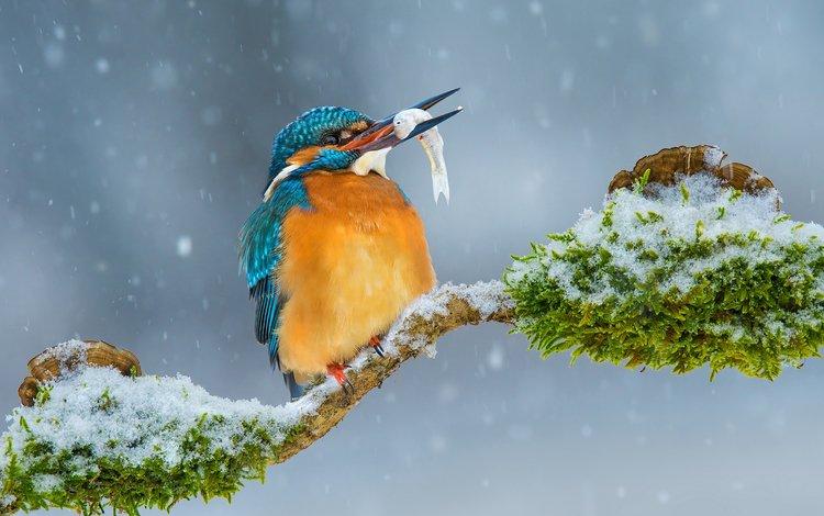 ветка, снег, зима, птица, рыбка, зимородок, branch, snow, winter, bird, fish, kingfisher