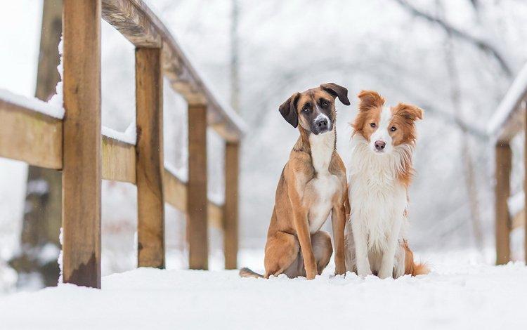 снег, зима, животные, мост, взгляд, друзья, собаки, мордочки, snow, winter, animals, bridge, look, friends, dogs, faces