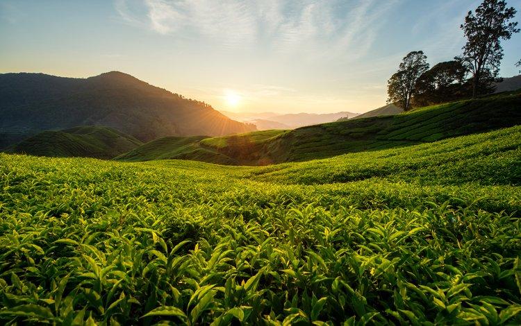 холмы, природа, пейзаж, чай, малайзия, чайная плантация, hills, nature, landscape, tea, malaysia, tea plantation