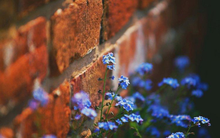 цветы, стена, кирпич, незабудки, flowers, wall, brick, forget-me-nots
