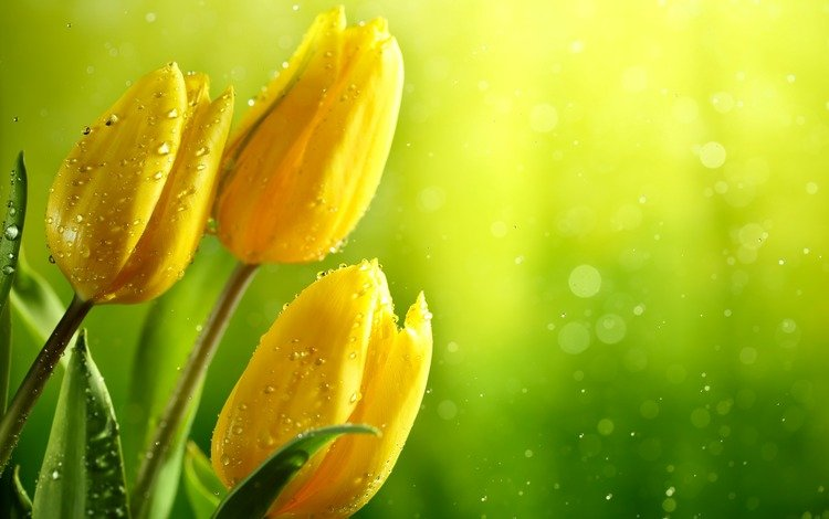 цветы, жёлтые тюльпаны, вода, зелень, бутоны, листья, капли, блики, тюльпаны, flowers, yellow tulips, water, greens, buds, leaves, drops, glare, tulips