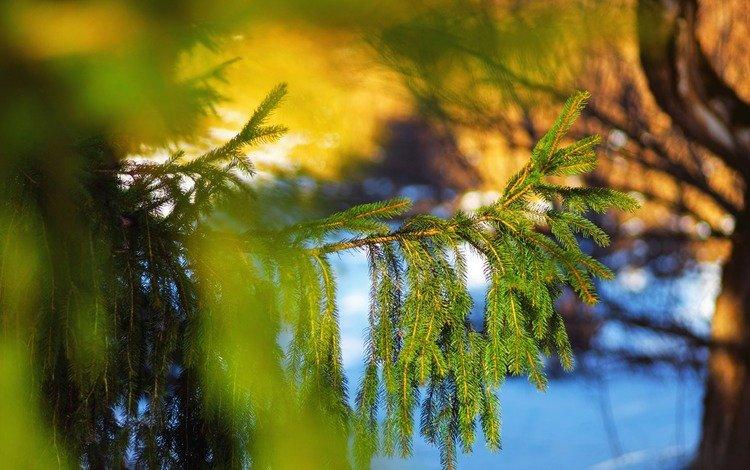 дерево, хвоя, макро, ветки, ель, tree, needles, macro, branches, spruce