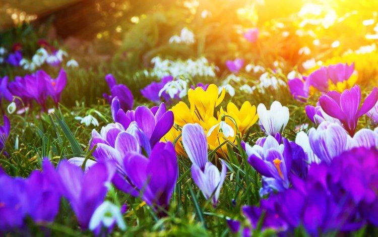 цветы, весна, крокусы, flowers, spring, crocuses