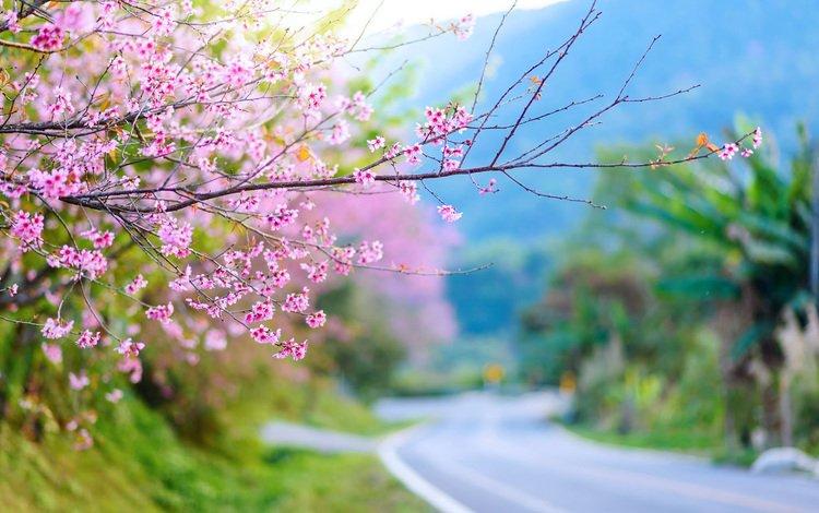 природа, цветение, весна, сакура, nature, flowering, spring, sakura