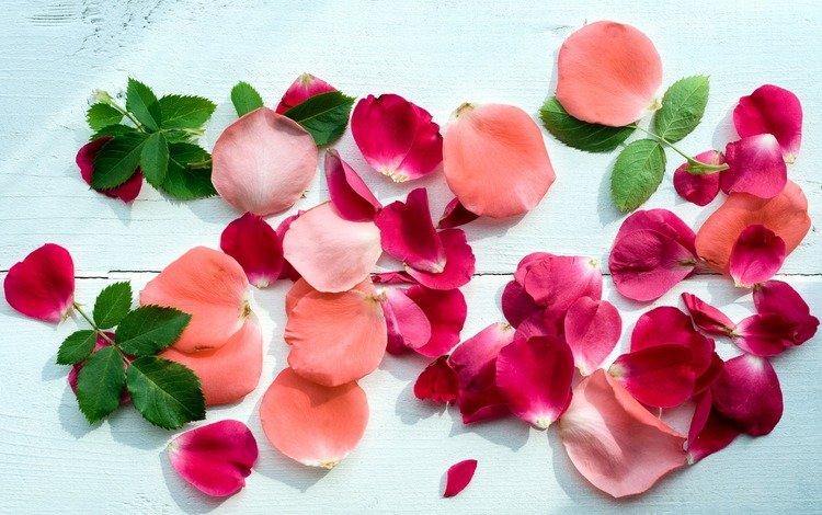 цветы, розы, лепестки, flowers, roses, petals