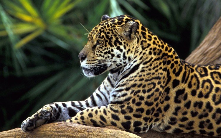 face, animals, look, predator, jaguar, brazil, wild cat, rainforest, h