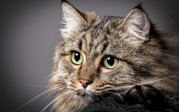 кот, мордочка, усы, кошка, взгляд, зеленые глаза, cat, muzzle, mustache, look, green eyes