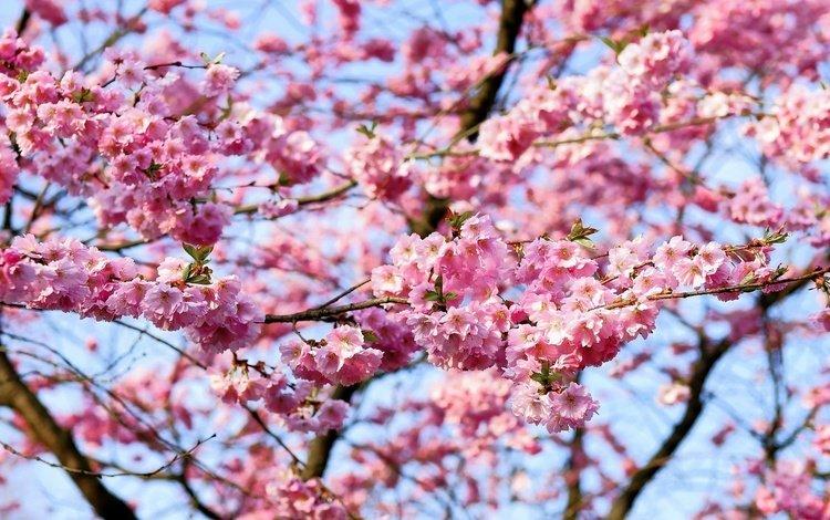 небо, цветы, природа, цветение, ветки, весна, вишня, сакура, the sky, flowers, nature, flowering, branches, spring, cherry, sakura