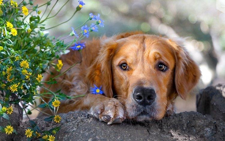 морда, цветы, трава, грусть, собака, камень, золотистый ретривер, face, flowers, grass, sadness, dog, stone, golden retriever