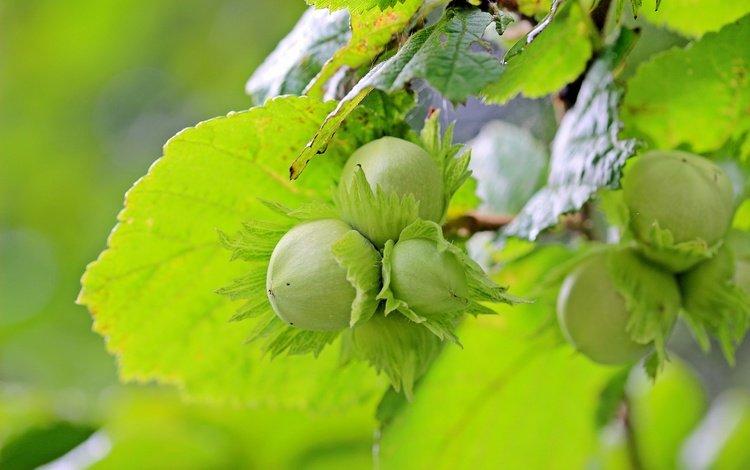 листья, орехи, фундук, лесной орех, лещина, leaves, nuts, hazelnuts, hazelnut, hazel
