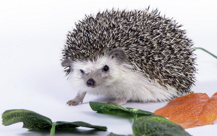 листья, колючки, белый фон, ежик, еж, leaves, barb, white background, hedgehog