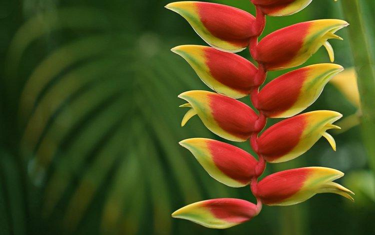 цветы, природа, макро, соцветие, геликония, flowers, nature, macro, inflorescence, heliconia