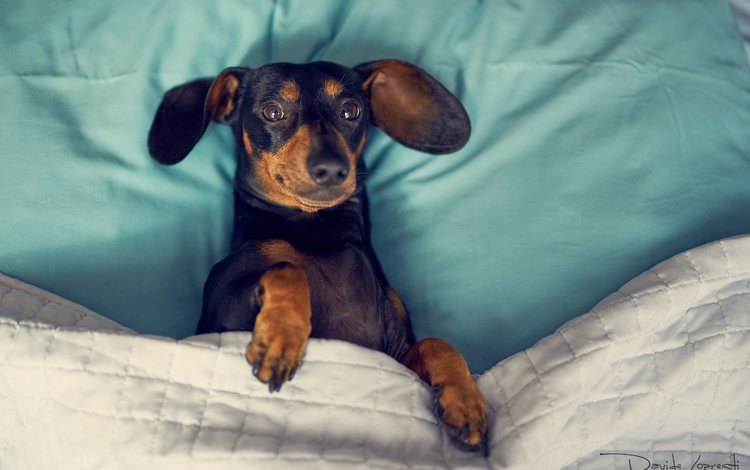 глаза, мордочка, взгляд, собака, такса, davide lopresti, eyes, muzzle, look, dog, dachshund