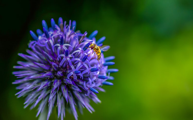 насекомое, цветок, муха, декоративный лук, insect, flower, fly, decorative bow