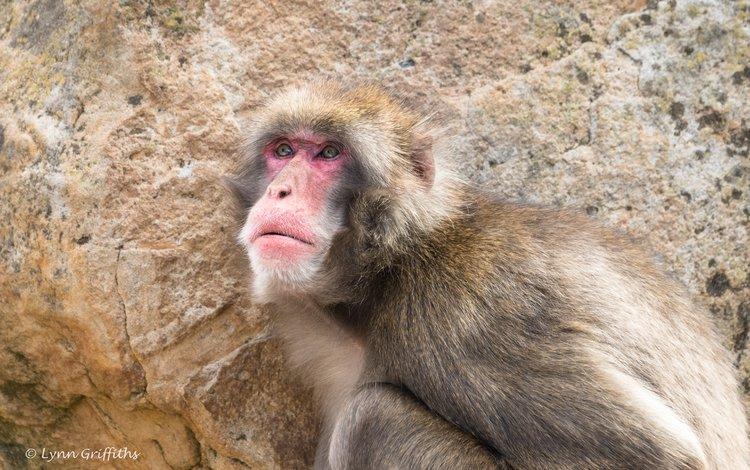 морда, взгляд, обезьяна, макака, японская макака, японский макак, lynn griffiths, face, look, monkey, japanese macaque, japanese macaques