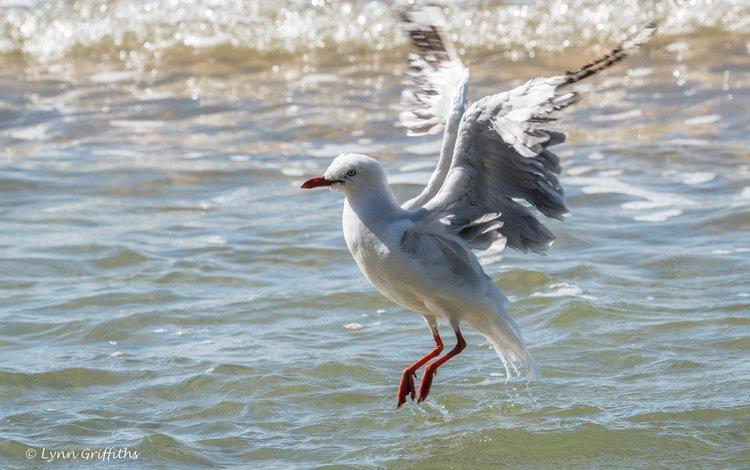 вода, полет, крылья, чайка, птица, lynn griffiths, water, flight, wings, seagull, bird