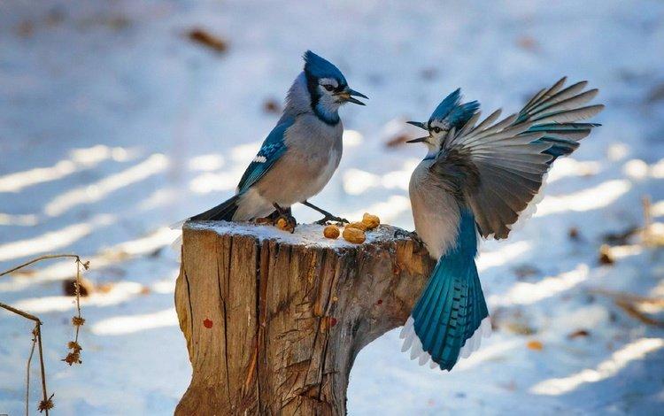 snow, nuts, winter, wings, birds, beak, feathers, stump, fight, blue jay