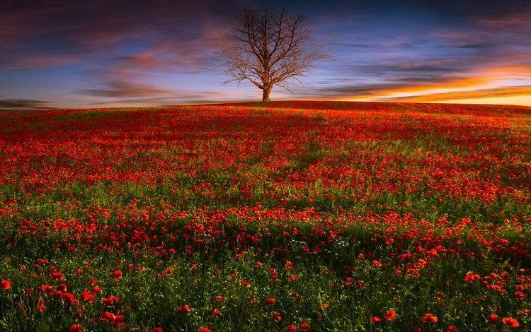 цветы, вечер, природа, дерево, закат, поле, красные, маки, flowers, the evening, nature, tree, sunset, field, red, maki