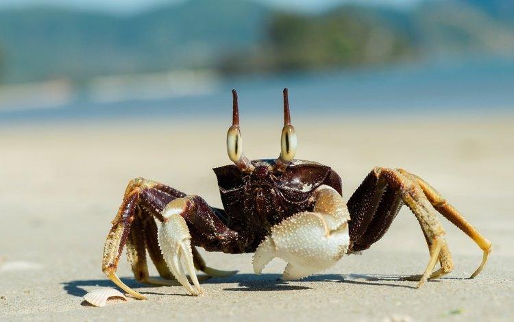 песок, пляж, краб, клешни, sand, beach, crab, claws