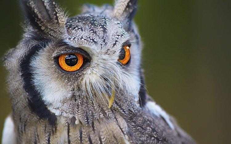глаза, сова, хищник, птица, клюв, eyes, owl, predator, bird, beak