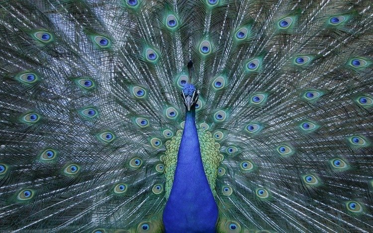 птица, клюв, павлин, перья, животное, хвост, зоопарк, оперение, bird, beak, peacock, feathers, animal, tail, zoo