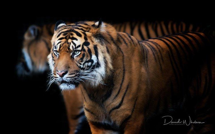 тигр, зверь, морда, david whelan, фон, усы, взгляд, хищник, профиль, черный фон, tiger, beast, face, background, mustache, look, predator, profile, black background