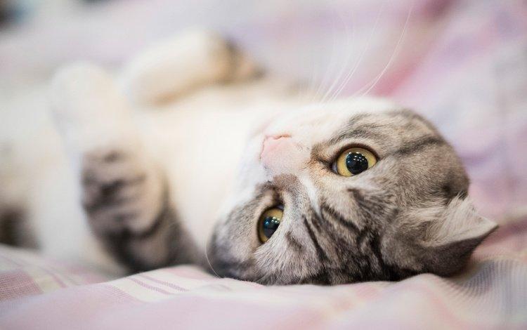 глаза, милая, портрет, постель, кот, полосатая, мордочка, вислоухая, кошка, шотландская вислоухая, взгляд, лежит, серая, кровать, bed, eyes, sweetheart, portrait, cat, striped, muzzle, fold, scottish fold, look, lies, grey