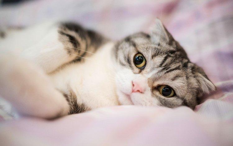 глаза, кровать, портрет, милая, кот, лапочка, мордочка, постель, кошка, полосатая, взгляд, вислоухая, лежит, шотландская вислоухая, размытость, серая, grey, eyes, bed, portrait, sweetheart, cat, friendly, muzzle, striped, look, fold, lies, scottish fold, blur
