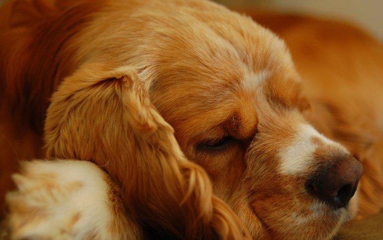 мордочка, сон, собака, кокер-спаниель, muzzle, sleep, dog, cocker spaniel