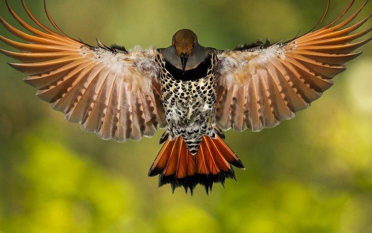 крылья, птица, клюв, перья, дятел, золотой шилоклювый дятел, wings, bird, beak, feathers, woodpecker