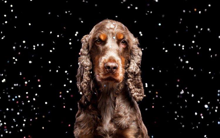 взгляд, собака, черный фон, спаниель, кокер-спаниель, look, dog, black background, spaniel, cocker spaniel
