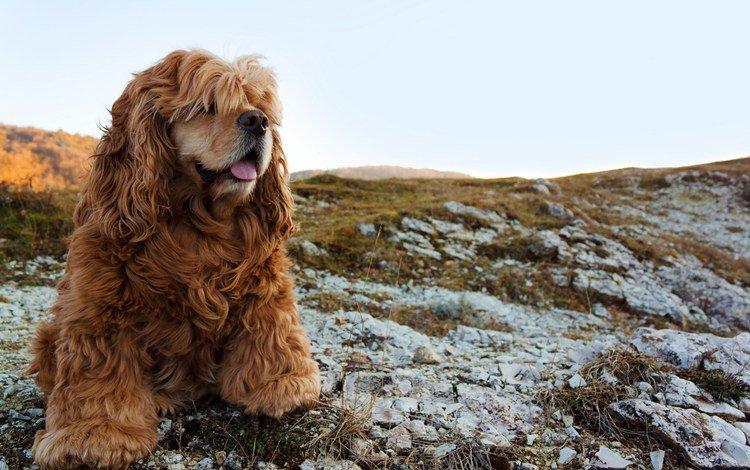взгляд, собака, спаниель, кокер-спаниель, look, dog, spaniel, cocker spaniel