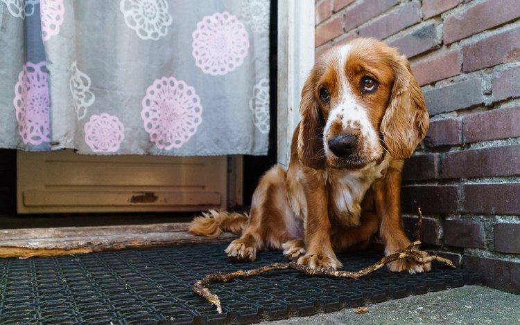 глаза, взгляд, собака, дом, спаниель, кокер-спаниель, eyes, look, dog, house, spaniel, cocker spaniel