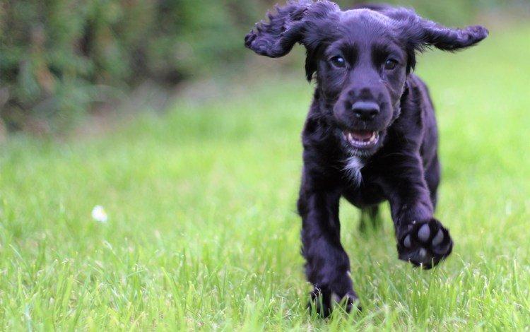 трава, собака, щенок, кокер-спаниель, grass, dog, puppy, cocker spaniel