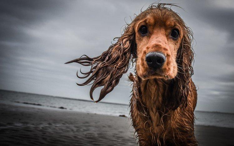 грусть, взгляд, собака, мокрая, кокер-спаниель, sadness, look, dog, wet, cocker spaniel