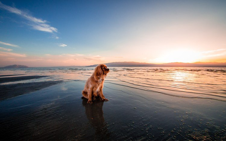 закат, море, пляж, собака, сумерки, кокер-спаниель, берег., sunset, sea, beach, dog, twilight, cocker spaniel, shore.