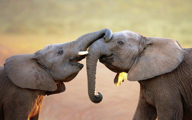 животные, игра, слоны, хобот, слоненок, animals, the game, elephants, trunk, elephant