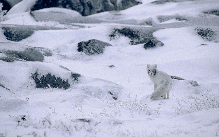 снег, канада, природа, песец, камни, полярная лисица, растения, арктическая лиса, зима, пейзаж, животные, мороз, snow, canada, nature, fox, stones, polar fox, plants, arctic fox, winter, landscape, animals, frost
