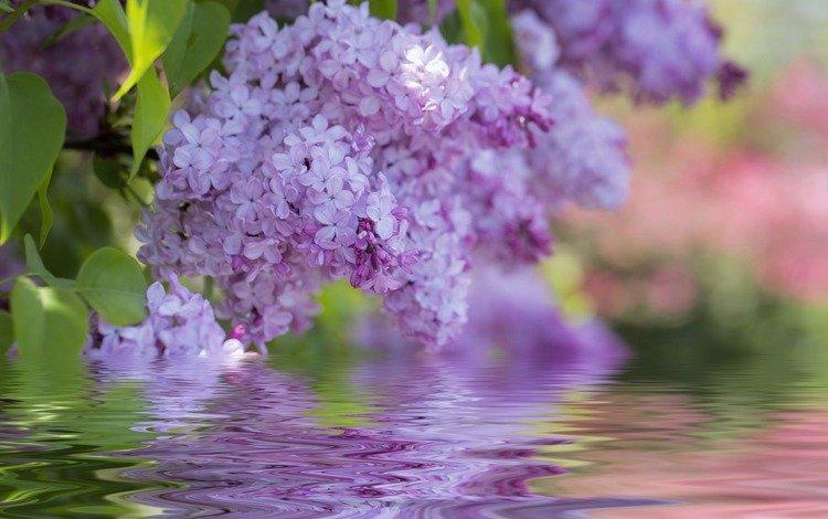 flowers, flowering, spring, lilac