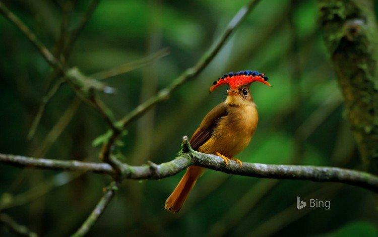 ветки, птица, клюв, перья, мухоловка, королевская мухоловка, branches, bird, beak, feathers, flycatcher, royal flycatcher