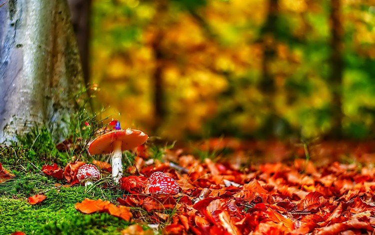 nature, forest, leaves, autumn, mushrooms, amanita