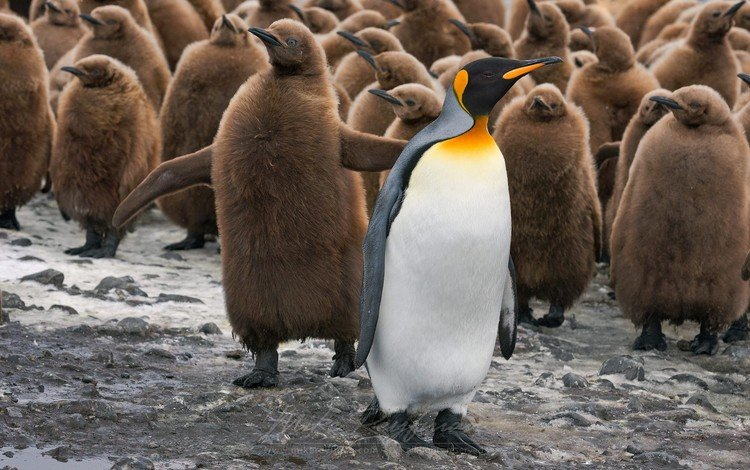птицы, дикая природа, пингвины, детеныши, birds, wildlife, penguins, cubs