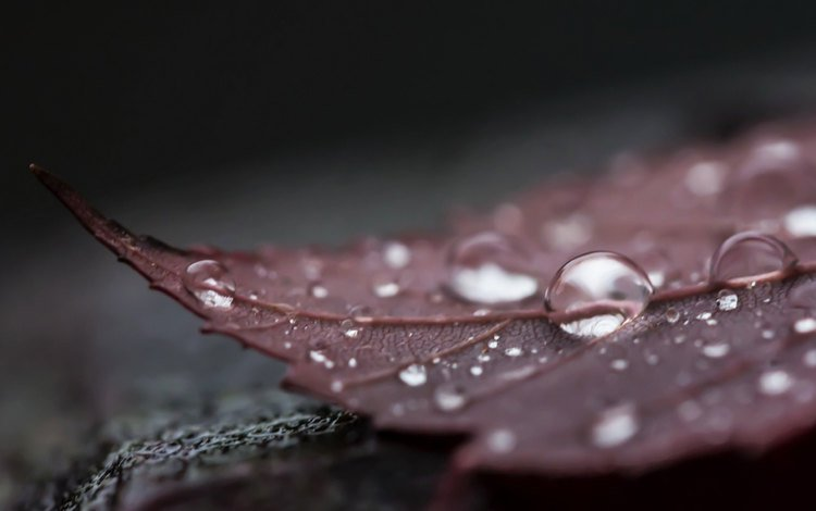 nature, rosa, drops, autumn, sheet