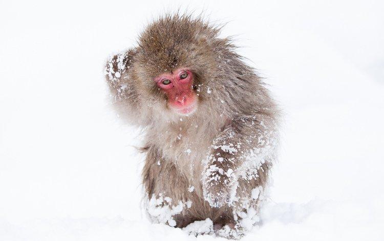 снег, обезьяна, обезьянка, макака, японский макак, снежная обезьяна, snow, monkey, japanese macaques, a snow monkey