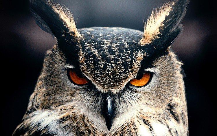 глаза, сова, взгляд, клюв, черный фон, перья, филин, eyes, owl, look, beak, black background, feathers