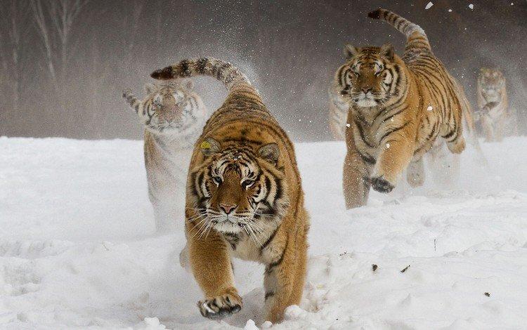 snow, winter, the amur tiger, tigers