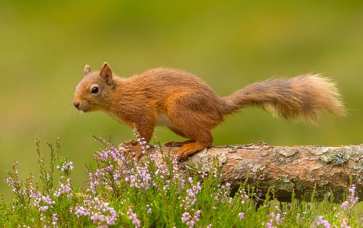 цветы, белка, хвост, белочка, грызун, flowers, protein, tail, squirrel, rodent